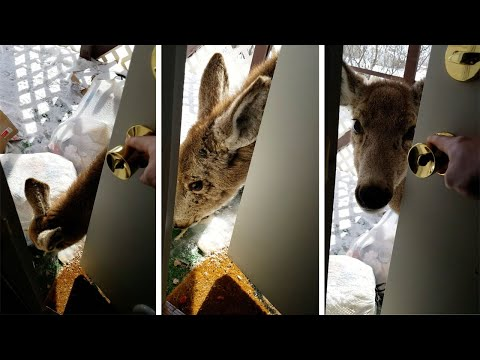 Hungry Deer Calls On Homeowner For Food