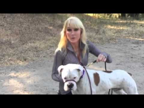 How to ease a dog into a leash/collar that controls a dogs head and muzzle
