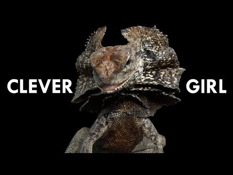 Frill Necked Lizards are straight out of Jurassic Park