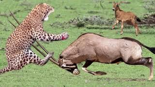 OMG! Mother Gemsbok Save Her Baby From Cheetah Hunting - Wildebeest vs Lion vs Oryx