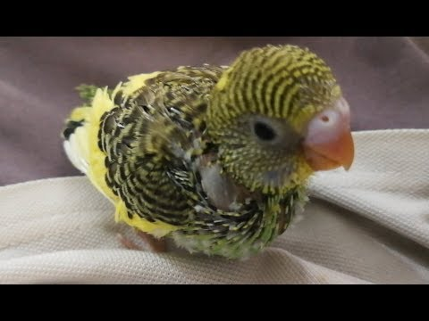 Handfeeding a baby budgie| Simple tips to hand feed your baby bird