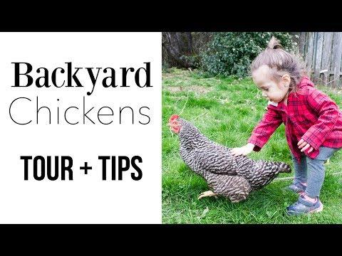 How To Raise Baby Backyard Chickens