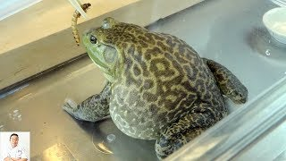 Download GRAPHIC: Live Frog Recipe | Delicious Twice Cooked Frog Recipe (Cantonese Inspired) Video