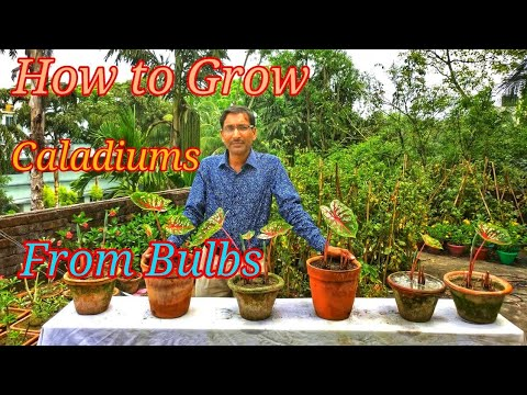 How to grow Caladiums or Angel's Wings from its Bulbs or tubers.