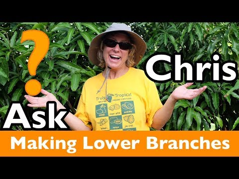 ASK CHRIS- How can I encourage a young mango tree to form lower branches?