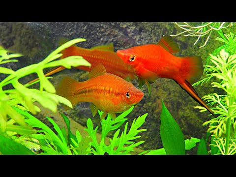 HOW TO GET SWORDTAILS TO BREED: HOW TO BREED SWORDTAIL FISH!