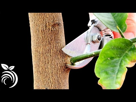 Pruning Citrus Trees without killing them
