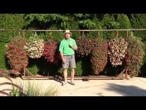 Trailing Begonias - New Vegetative Varieties