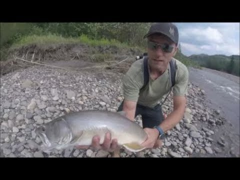 MONSTER BULL TROUT SMOKY RIVER AB!!!!