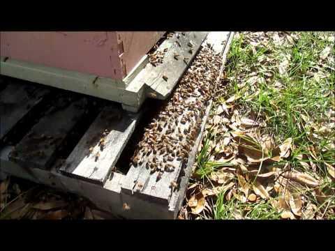 Wild swarm capture March 2013