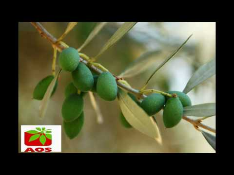 Jojoba Oil Indian Manufacturer & Exporters- Brand Name AOS Products