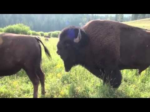 Surrounded by Bison !! - short clip - Lamar Valley, Yellowstone National Park 2014