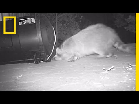 Raccoons Get Trapped In Garbage Bin | National Geographic