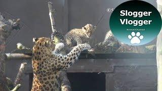 Amur Leopard Mum Doesn