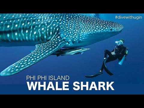 Whale shark on Phi Phi Island - Diving video around Phi Phi Ley
