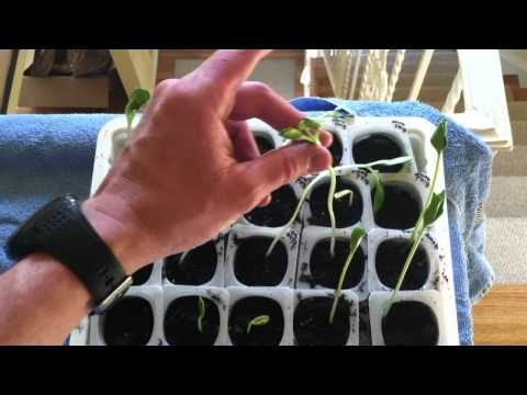Spindly Seedlings: a Problem?