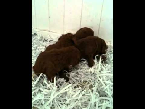 Red Poodles For Sale In Michigan / Red Pod