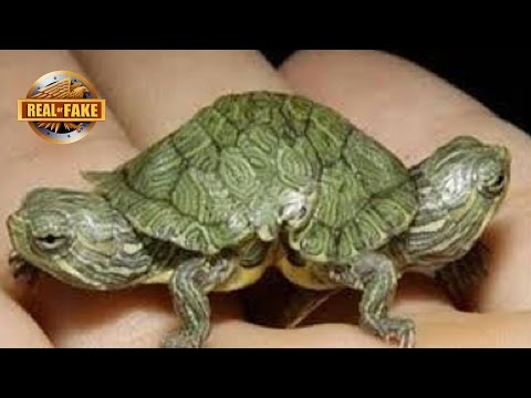 TURTLE WITH TWO HEADS - Real or Fake?