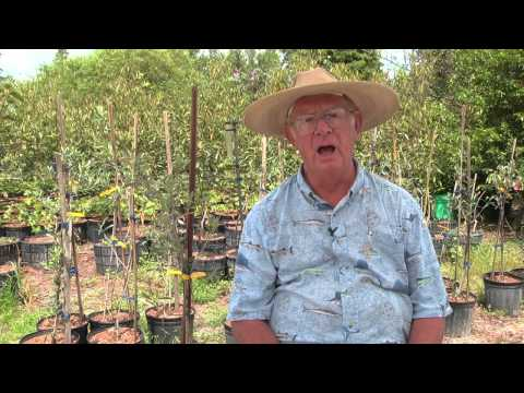 How to Grow Olive Trees