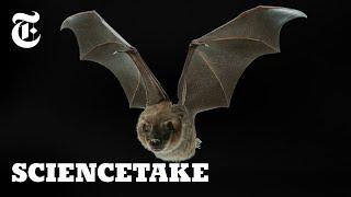 Secrets of the Bat Wing | ScienceTake