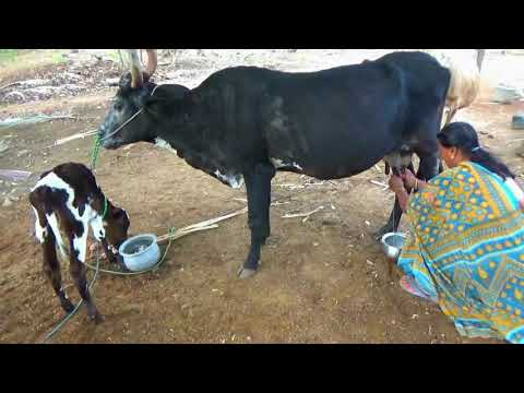 KANGAYAM SERIES:15, How should women handle cows? and how to get milk from the cow?