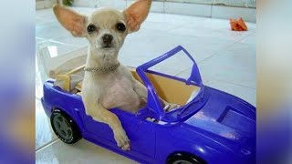 CHIHUAHUAS or the FUNNIEST dog breed!
