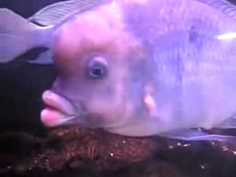 fish with human like lips
