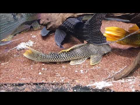 LIOW VIDEO: Visit Monster fish Aquarium at JZX 大型鱼水族店