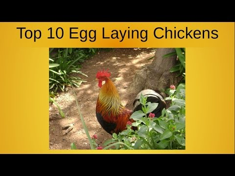 Top 10 Egg Laying Chickens