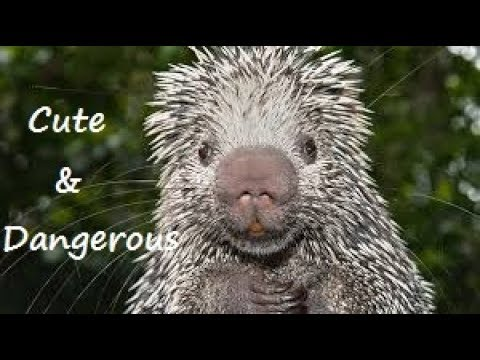 Porcupines, Cute & Dangerous:  Everything you Should Know about Porcupines