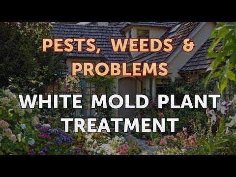 White Mold Plant Treatment