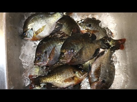 Catch and Cook : Bluegill (Bream) and Sunfish ! COOKING Recipe!