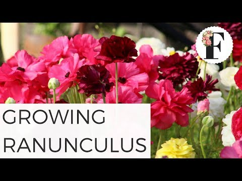 How to Grow Ranunculus from Corms Growing Flowers  Container Gardening Garden Flower Cut Flower Farm