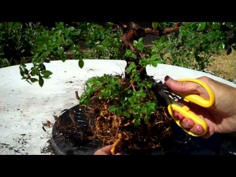 Chinese Elm Bonsai Part IV Lots of root prunning & potting
