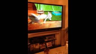 Cat coco Chanel watching tv