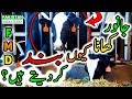 Foot and Mouth Disease in Cattle - Symptoms, Causes, Vaccination, Cure & Treatment in Urdu Hindi HD