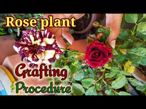How to make Bud Grafting of Roses with 100% Success. NURSERY METHOD REVEALED.