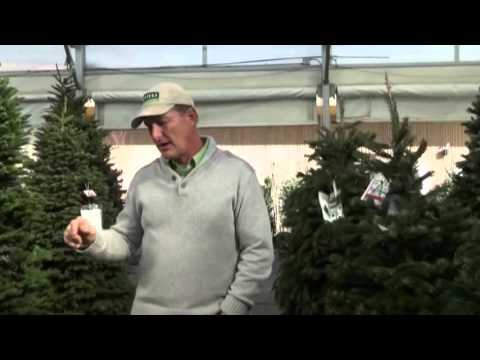 12/05/15 Christmas Trees   How to Force Them to Stay Fresh
