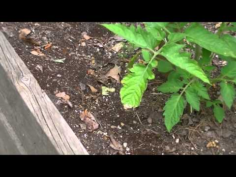 How To: Treat Ants in Raised Beds Organically