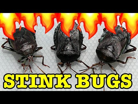 Stink Bug Pest Control Flamethrower Vs Water Save My Lemons