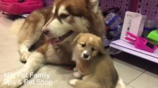 Alas Mật bị bắt làm bả mẫu của 11 đứa em - khổ thân thằng bé - Mật Pet Family