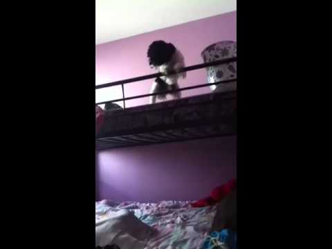 The dog that's scared to jump off a bunk bed