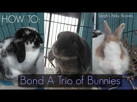 How to bond a trio rabbits
