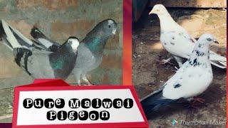 मलवई कबूतर || पंजाबी कबूतर || Malwai Pigeons || Punjabi pigeons Gifted By Deep, Sachin Bhai
