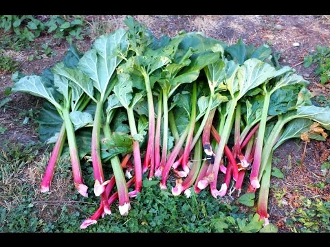How To Harvest Rhubarb -Growing Rhubarb in the Pacific Northwest