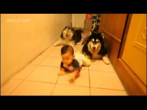 Incredible Husky Dogs Teach Baby How To Crawl
