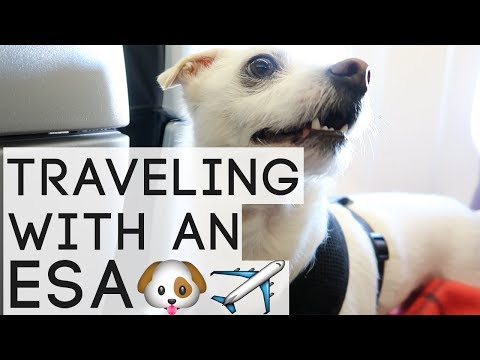 Traveling With An Emotional Support Animal (ESA) | AMERICAN AIRLINES | What To Expect