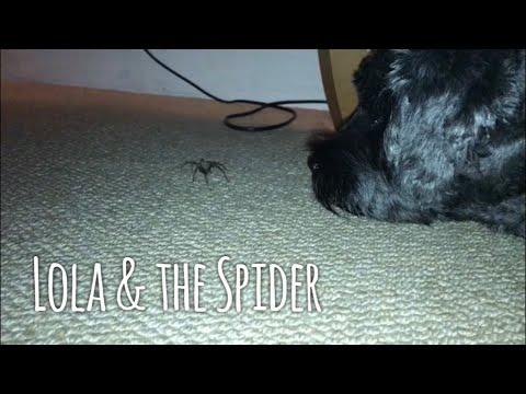 """Lola Dog & the Spider"""