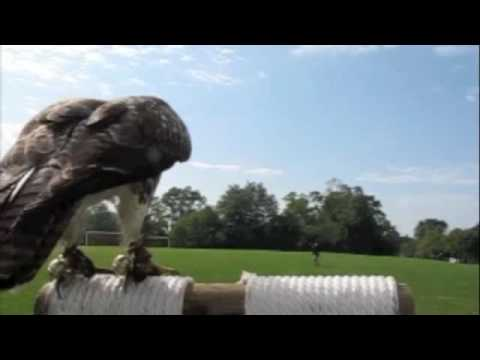 Red Tail Hawk falconry