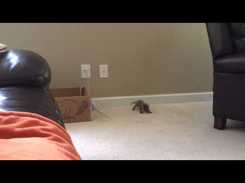 Sly Cooperette 3 1/2 weeks old baby raccoon learns to walk